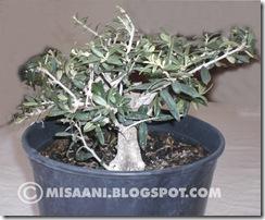 olivo prebonsai
