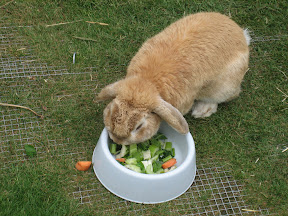Rabbit eating