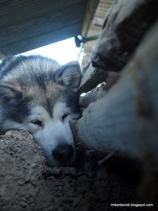 Bunny-eye view of malamute at top of hole