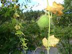 Kolczasta roślinka