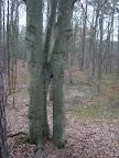 Ciekawostka przyrodnicza: zrośnięte drzewa.
