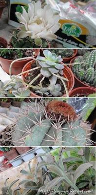 Comp Cactus