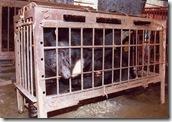 Caged_bear_1[1]
