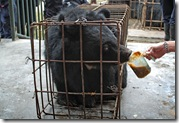 Caged_bears_Chengdu_Oct_2006_Kees_25[1]