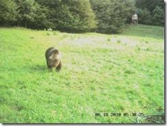 L'orso bruno ritratto poco dopo l'alba del 18 giugno a Sella Chianzutan (foto: Riserva di caccia di Verzegnis)