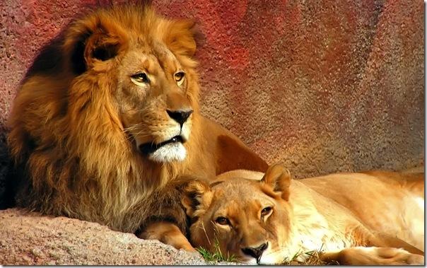 Lions_1680 x 1050 widescreen