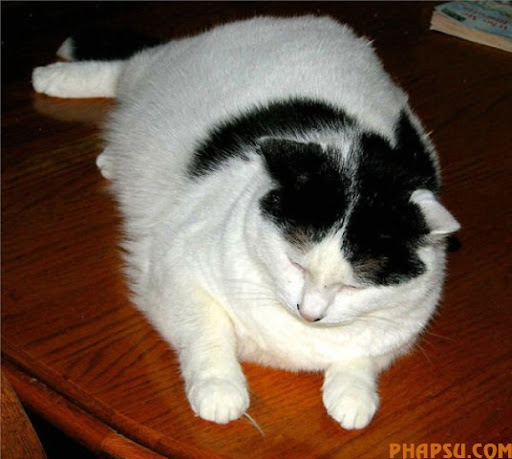 fatty_cats_640_60.jpg