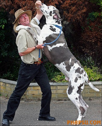 RAY WOODS WITH SAMSON, THE CROSS BETWEEN A GREAT DANE AND A NEWFOUNDLAND BRITAIN'S TALLEST DOG AT 37 INCHES HIGH AND WEIGHING IN AT A COLOSSAL 19 STONE.16/3/7 PIC FROM CATERS NEWS AGENCY SHOWS......SAMSON, THE BRITAIN'S TALLEST DOG AT 37 INCHES HIGH AND WEIGHING IN AT A COLOSALL 19 STONE.....THE CANINE GIANT IS A CROSS BETWEEN A GREAT DANE AND A NEWFOUNDLAND AND IS MORE THAN A HANDFUL FOR OWNERS SUE AND RAY WOODS FROM BOSTON, LINCS.........ALSO IN THE PIX IS THE JACK RUSSELL WHO IS SAMSON'S BEST FRIEND AND CONSTANT COMPANION...................SEE CATERS EXCLUSIVE COPY........