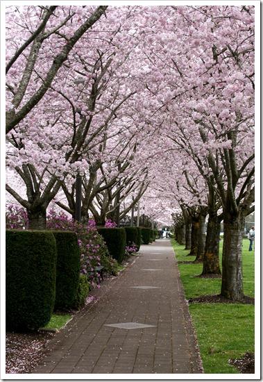 blossom canopy