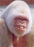 Macaco rindo