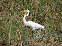 A Great Egret at Wakodahatchee Wetlands