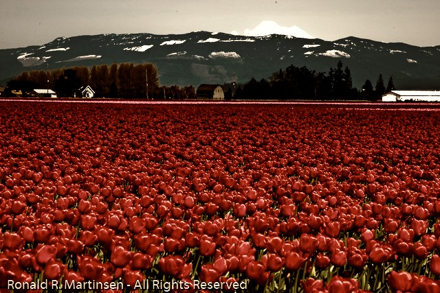 tulip_festival_034-edit-Edit