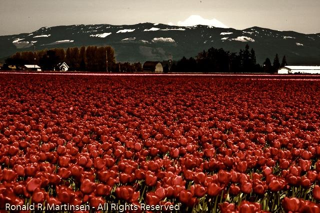 tulip_festival_034-edit-Edit