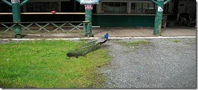 PeacockGuardDog