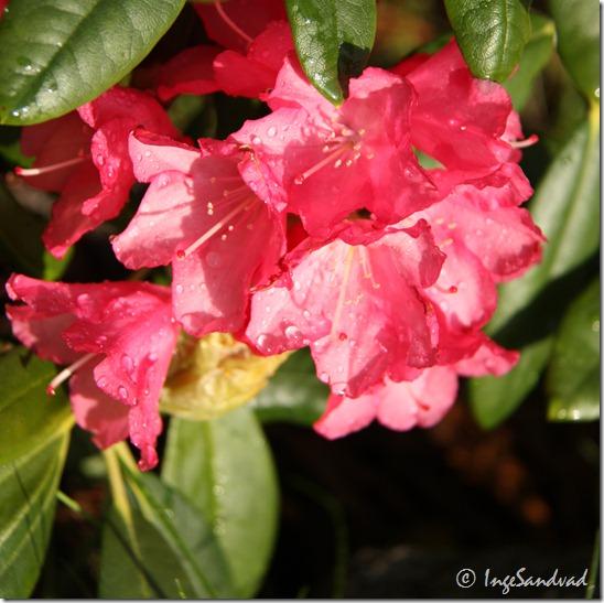 Blomster i haven 28.maj 2010 007