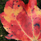 Red New England leaves