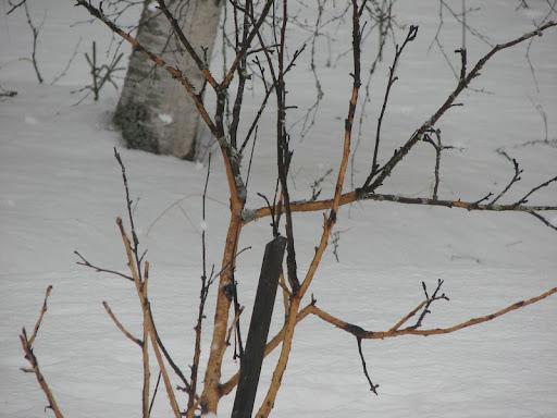 omenapuu2010.jpg
