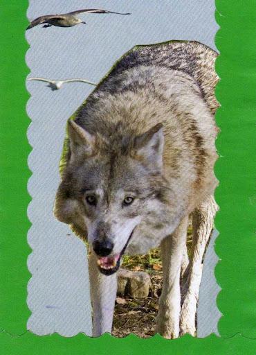 Wolf_090413.jpg
