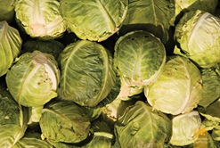 Fresh Sagada Cabbages
