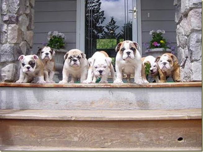 bulldogs 1[1]