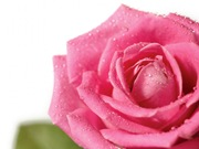 rosas (12)