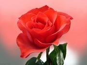 rosas (14)