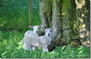 Sping Lambs under tree