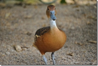 Exotic Duck