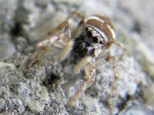 Zebra_spider, A színészpók (Salticus scenicus) a pókszabásúak (Arachnida) osztályának a pókok (Araneae) rendjéhez, ezen belül a főpókok (Araneomorphae) alrendjéhez és a ugrópókfélék (Salticidae) családjához tartozó faj.