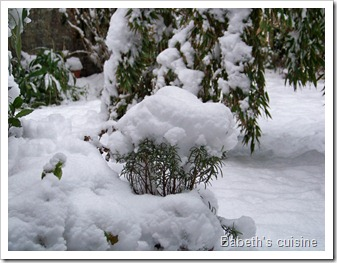 romarin sous la neige2