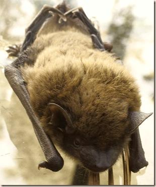 bat face frontal