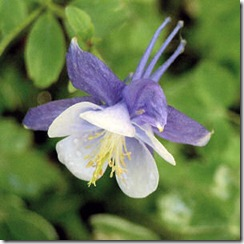 white_and_lavender_columbine