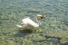 Swan - Lake Neuchatel