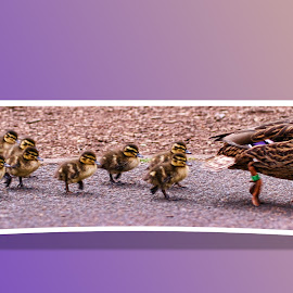 Duck and Ducklings Out OF Bounds by Roy Branford - Digital Art Animals ( out of bounds, ducklings, ducks, out of frame )