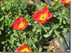 Taos Orange Roses Close