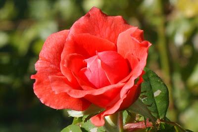 Rosa de inverno em Vanicelos