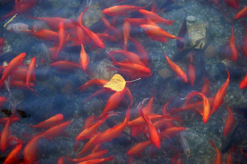 Peixes no lago da algodeia
