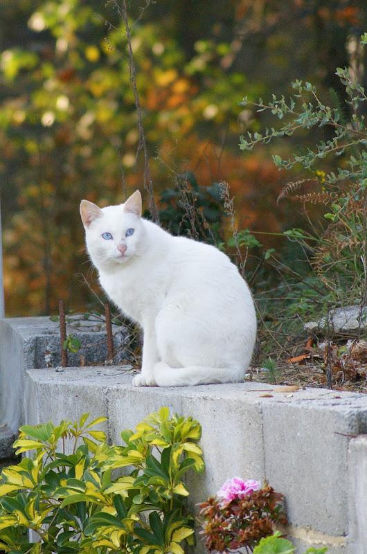 Gato branco em Alviães