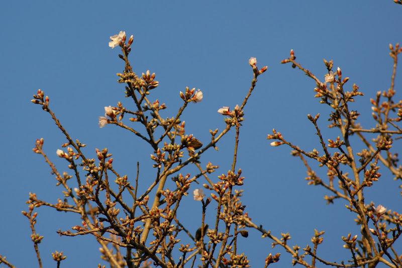 Flores de pessegueiro, promessa de primavera
