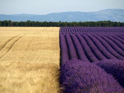 Blat i lavandes a Valensole / Trigo y lavandas en Valensole / Wheat and lavenders at Valensole - Valensole (Alpes de Haute Provence - Provence-Alpes-Côte d'Azur - France) 10/07/2010 - OL_E510_014831