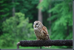 Barred Owl (2)