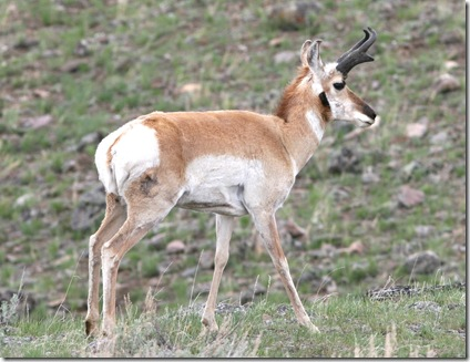 pronghorn antelope2