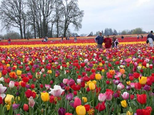 woodburn tulips