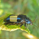 Jewel bug (Buprestidae sp.)