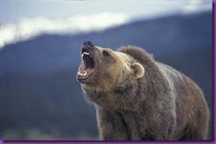 Grizzly-Bear-Roar