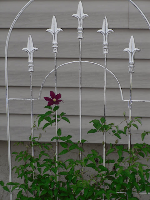 Clematis Sunset And Galore Bloomed Today
