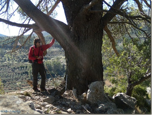 Gran pino del Barranc de Famorca - Alicante
