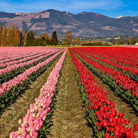 Tulip Field by Chris Kontoravdis - Landscapes Prairies, Meadows & Fields ( clouds, washington, mountain, colorful, color, field flower, trees, tulips, usa )