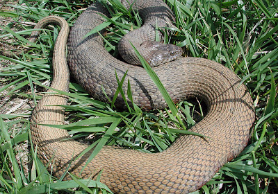Northern watersnake - Nerodia