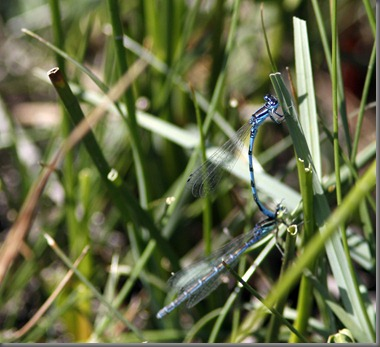 10_07_03_new_forest_092_southern_damselfly